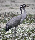 Common Crane © John Muddeman