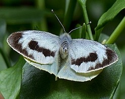 Canary Islands Large White (female) - Pieris cheiranthi cheiranthi © Teresa Farino