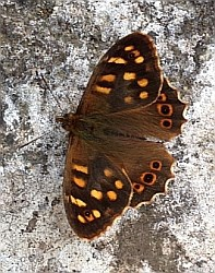 Canary Speckled Wood - Parage xiphioides. © Teresa Farino