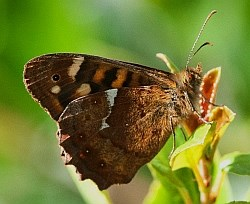 Canary Speckled Wood - Parage xiphioides © Teresa Farino