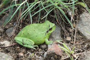 Stripeless tree frog Cap de Creus 24 abril 2014 © Mike Lockwood