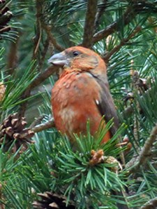 A male Spanish Common Crossbill - Loxia curvirostra © John Muddeman