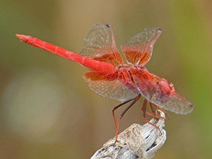 Male Orange-winged Dropwing - Trithemis kirbyi © John Muddeman