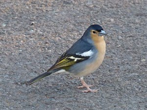 A Canary Islands Common Chaffinch - Fringilla coelebs canariensis © John Muddeman