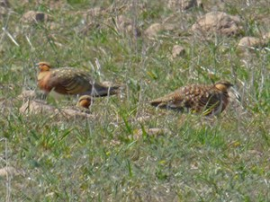 Pin-tailed Sandgrouse - Pterocles alchata © John Muddeman