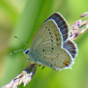 One of several Short-tailed Blues - Cupido alcetas © John Muddeman