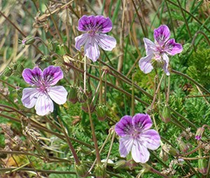 The beautiful Rock Storksbill - Erodium foetidum © John Muddeman