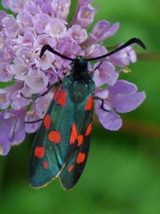 The local 6-spotted Burnet species - Zygaena subalpina © John Muddeman