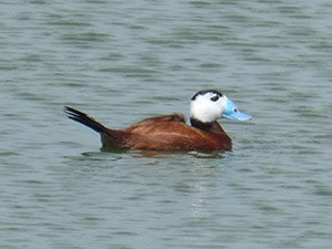 A dapper male White-headed Duck - Oxyura leucocephala © John Muddeman