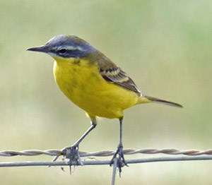 A super male Blue-headed Wagtail - Motacilla flava flava © John Muddeman