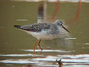 Vagrant Lesser Yellowlegs - Tringa flavipes © John Muddeman
