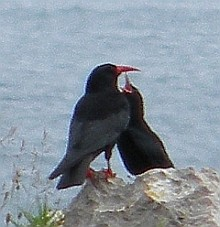 Red-billed Choughs - Pyrrhocorax pyrrhocorax © Teresa Farino