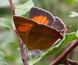 Brown Hairstreak - Thecla betulae © Teresa Farino
