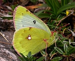 Mountain Clouded Yellow - Colias phicomone © Teresa Farino