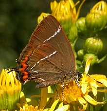 White-letter Hairstreak - Satyrium w-album © Teresa Farino
