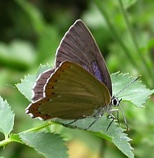 aSpanish Purple Hairstreak - Laeosopis roboris © Teresa Farino
