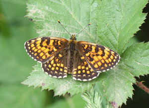 False Heath Fritillary - Melitaea diamina © Mike Lockwood