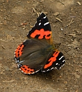 Canary Red Admiral – Vanessa vulcania