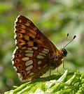 Duke of Burgundy Fritillary – Hamearis lucina