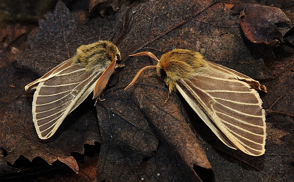 Male and female Iberian Patrician – Lemonia philopalus