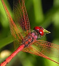 Red-veined Dropwing – Trithemis arteriosa