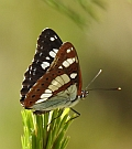 Southern White Admiral – Limenitis reducta