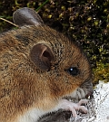 Wood Mouse – Apodemus sylvaticus