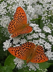 Male Silver-washed Fritillaries - Argynnis paphia © Teresa Farino