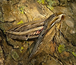 Silver-striped Hawkmoth – Hippotion celerio