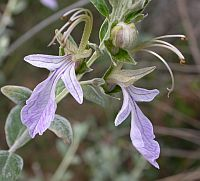 Tree Germander - Teucrium fruitcans © Teresa Farino
