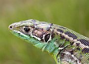 Species list - Reptiles