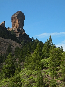 Canary Pine (Pinus canariensis) forest at the foot of Roque Nublo, Gran Canaria © Teresa Farino