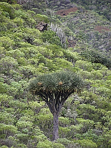 Dragon tree (Dracaena draco) in the Barranco de Igueste, Tenerife © Teresa Farino