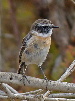 Canary Islands Stonechat - Saxicola dacotiae © John Muddeman