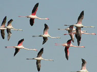 Birds of Castilla La Mancha, central Spain - Greater Flamingo © John Muddeman