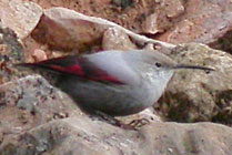 Birds and birdwtatching in Spain - Wallcreeper © John Muddeman