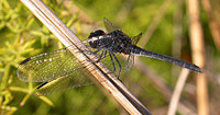 Spain - Dragonflies & Damselflies - Black Percher © John Muddeman