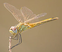 Spain - Dragonflies & Damselflies - Red-veined Darter female © John Muddeman