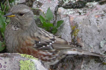 Birds of Madrid, central Spain - Alpine Accentor © John Muddeman
