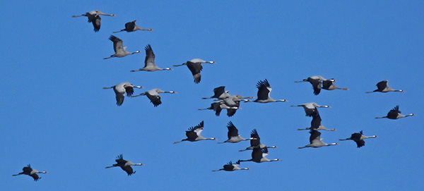 A flock of Common Cranes - Grus grus © John Muddeman