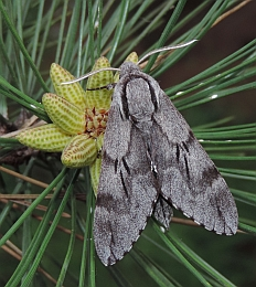 Southern Pine Hawkmoth – Hyloicus maurorum