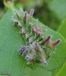 Southern White Admiral Caterpillar – Limenitis reducta