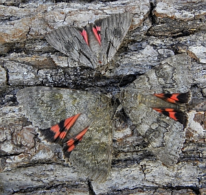 Catocala optata, Red Underwing (Catocala-nupta) and French Red Underwing (Catocala elocata) © Teresa Farino