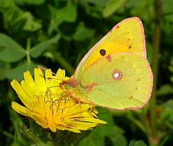 Clouded Yellow - Colias crocea © Teresa Farino