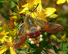 Broad-bordered Bee Hawkmoth - Hemaris fuciformis © Teresa Farino