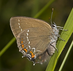 Ilex Hairstreak - Satyrium ilicis © Andrew Burns