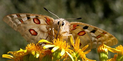 Apollo - Parnassius apollo © Teresa Farino