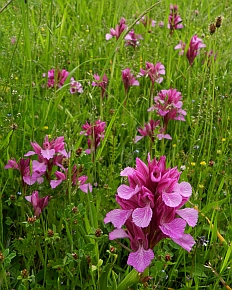Pink Butterfly Orchids - Orchis papilionacea