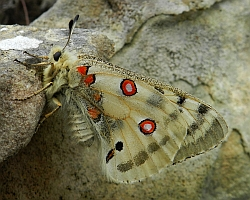 Apollo – Parnassius apollo © Teresa Farino