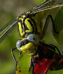 Female Yellow Clubtail – Gomphus simillimus © Teresa Farino